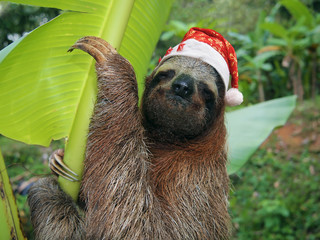 Christmas animal sloth wearing a santa hat