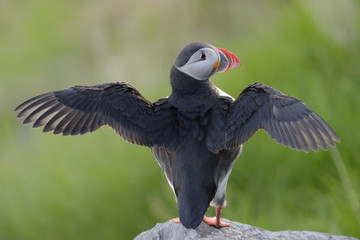 Atlantic puffin spreading his wings.