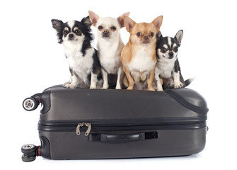 chihuahua and suitcase