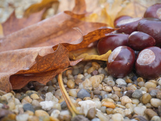 chestnut, gravel, leaf in autumn