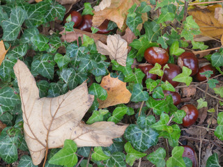 leaves and chestnuts