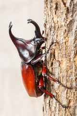 Fighting beetle