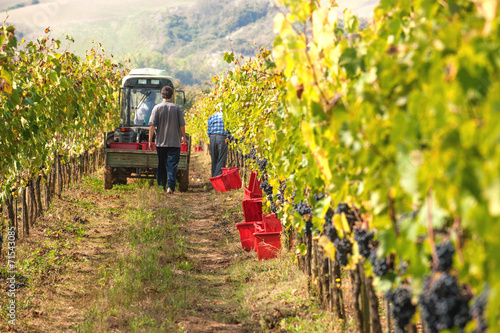 Papiers peints Vignoble Autumn grape harvest in Tuscany, Italy