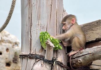 Pasto del piccolo di babbuino