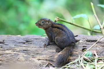 Three-striped Ground Squirrel (Lariscus insignis) in Mt.Kerinci