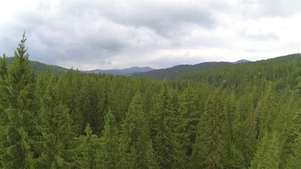 beautiful wood with high trees. Lateral flight. Aerial