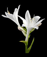 flower hosta isolated.