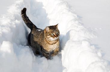 Cat sneaks in snow drifts
