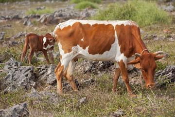 vache rodriguaise et son veau