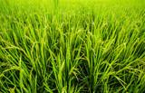 Fototapeta rice field inchiangmai Thailand
