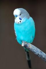 Blue Budgerigar (Melopsittacus undulatus)