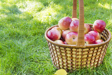 basket with red apples in the garden