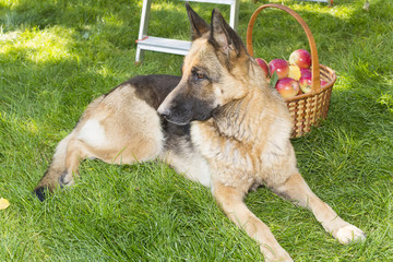 dog is guarding apples in the garden