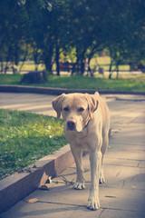 golden labrador for a walk in the park