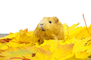 guinea pig sitting in yellow leaves on a white background isolat