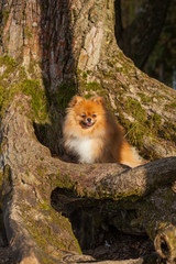 Pomeranian puppy sitting in a tree