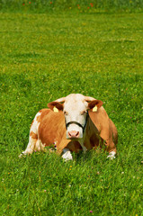 Brown female cow laying on grass in a sunny day.