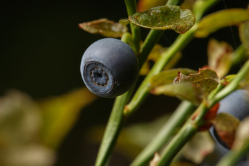 close-up blueberries wiith studio light in nature