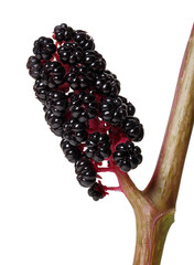 berries of Phytolacca