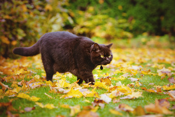 british shorthair cat walking outdoors in autumn