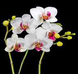 Blooming branches white and red orchid flower (phalaenopsis) wit