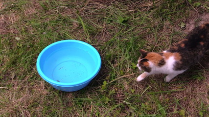 tabby cat catch fish from plastic bucket with water and run away