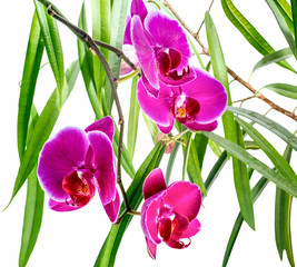 Blooming violet orchid with bandlet and green leaves of ficus is