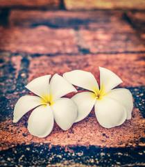 Two frangipani plumeria flowers