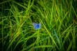 canvas print picture - Blauer Schmetterling