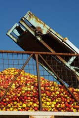 apples conveyor belt 3