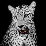 Leopard portrait - 71555891
