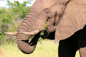 elefante mammifero selvaggio parco nazionale kruger sudafrica