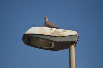 Eurasian collared dove on street lamp
