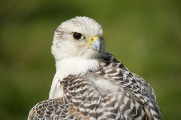 Close-up of gyrfalcon with head turned back