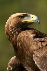 Close-up of sunlit golden eagle looking back