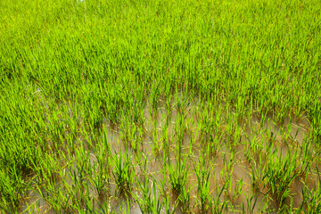 Rice paddy field close up