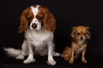 chiens dépités