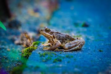 Wunderschöner Frosch auf Stein