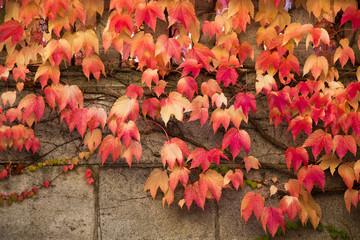 Herbstfarben - Wilder Wein in Rot