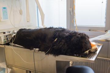 Dog at operating table
