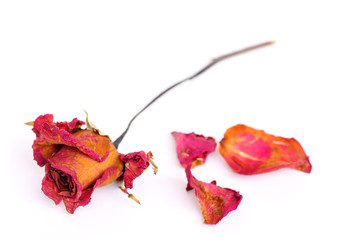 A withered rose and petals over white background.
