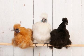 Silkies in henhouse