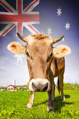 Cow with flag on background series - Australia