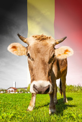 Cow with flag on background series - Belgium