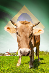 Cow with flag on background series - Brazil