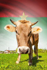 Cow with flag on background series - Burkina Faso