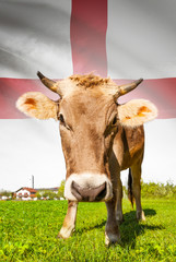 Cow with flag on background series - England