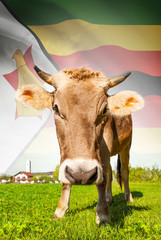 Cow with flag on background series - Zimbabwe
