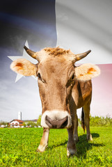 Cow with flag on background series - State of Texas