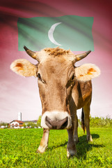 Cow with flag on background series - Maldives